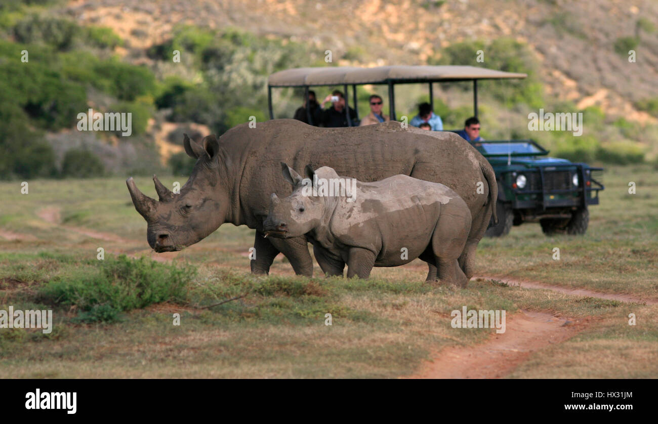 An adult and a  baby white rhino stand next to a tourist vehicle during a safari on a private game reserve in South - Stock Image