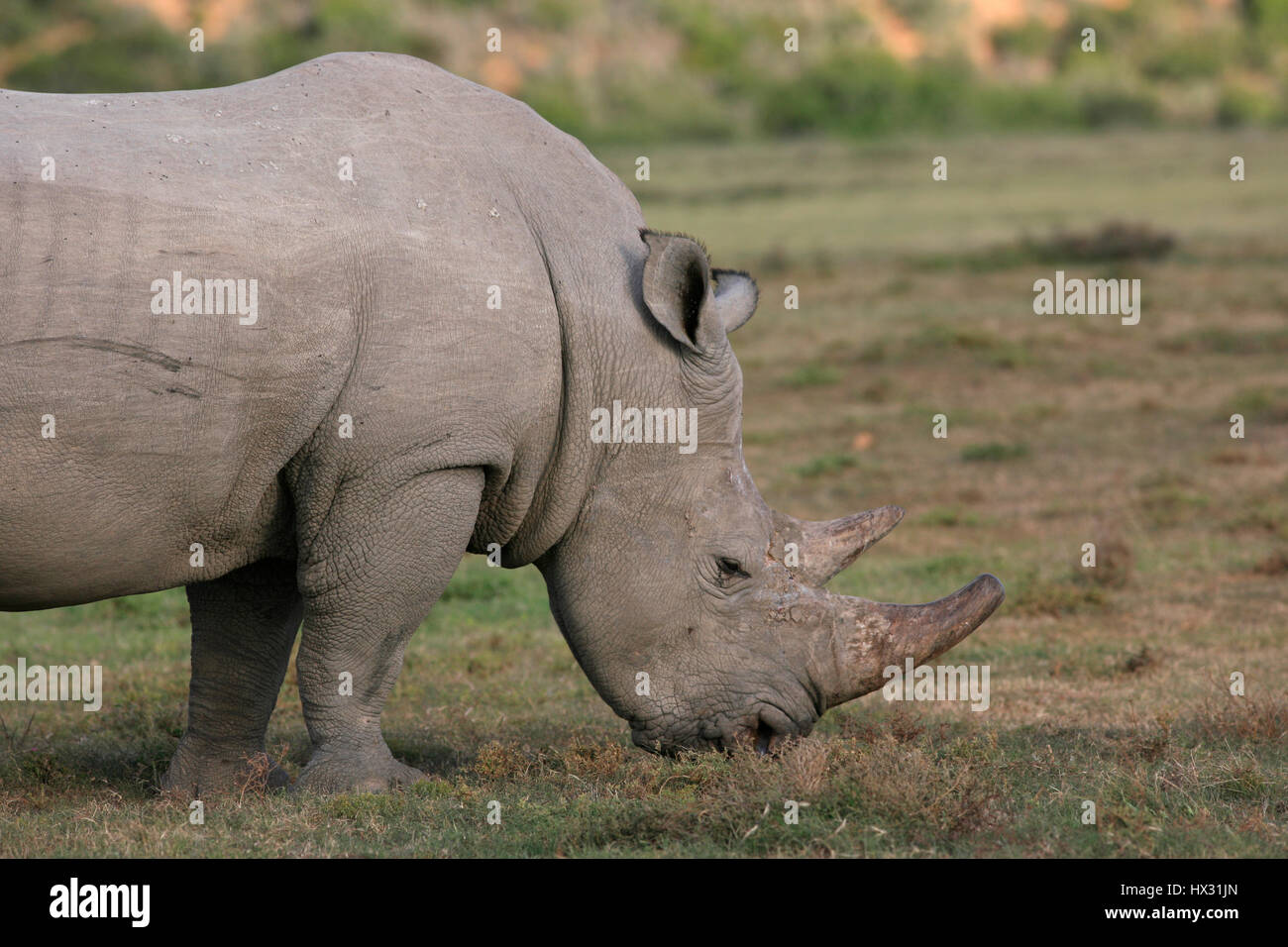 A white rhino eats grass during a safari, in a private game reserve in South Africa March 18, 2017. © John - Stock Image