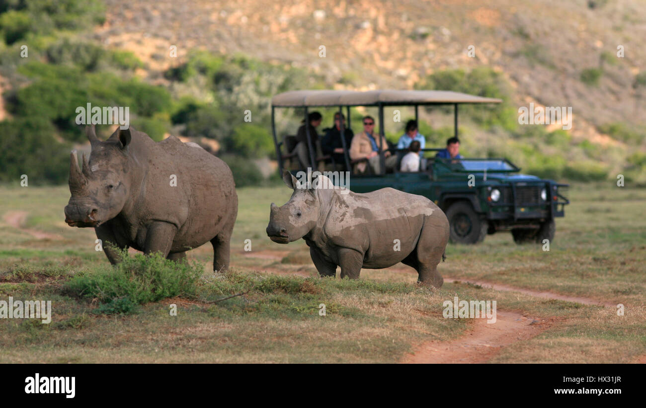 An adult and a  baby white rhino stand next to a tourist vehicle during a safari on a private game reserve in South Stock Photo