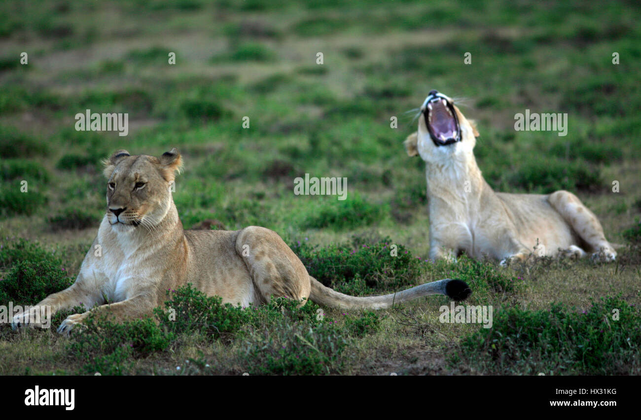 A lioness yawns as another lioness sits on the grass during a safari, on a private game reserve in South Africa - Stock Image