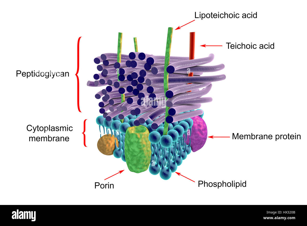 Gram negative bacterial cell wall artwork the horizontal layers gram negative bacterial cell wall artwork the horizontal layers include both an external and an internal membrane both containing transmembrane proteins ccuart Image collections
