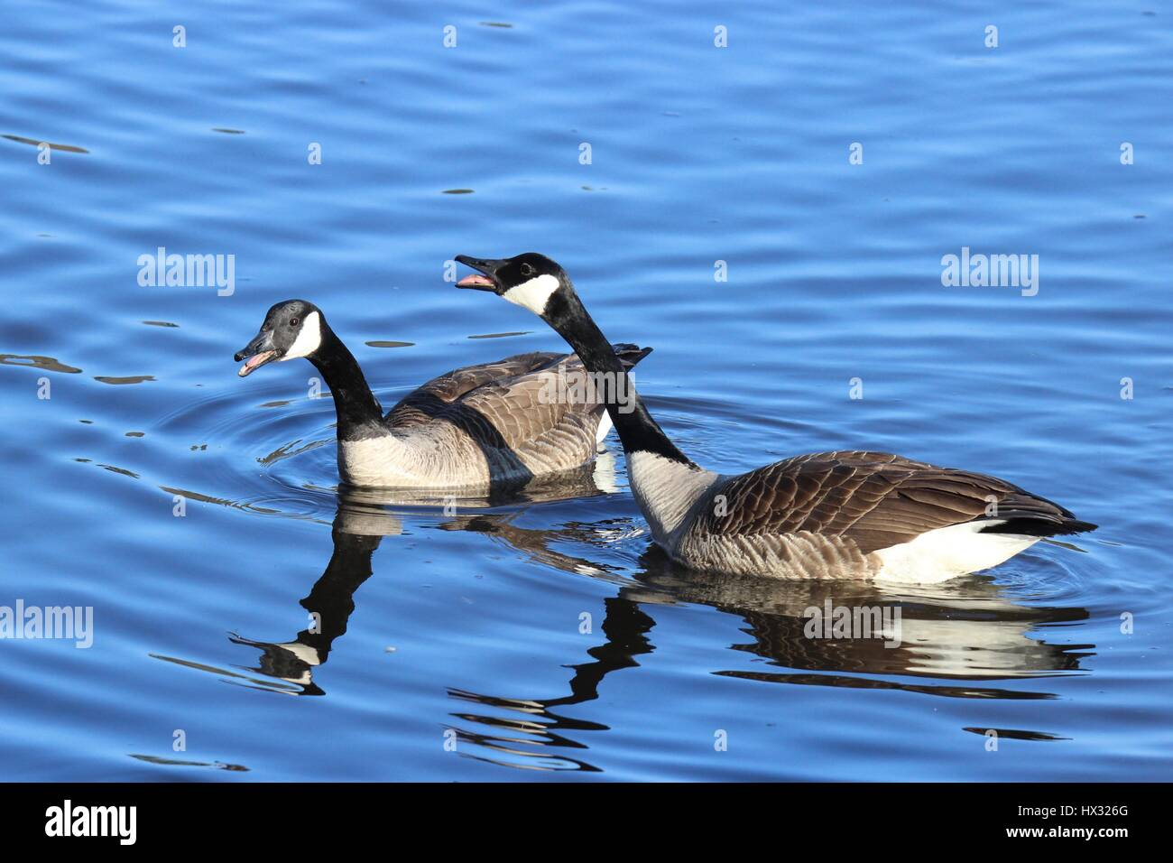 Two Canada geese honking at the other birds on the lake. - Stock Image