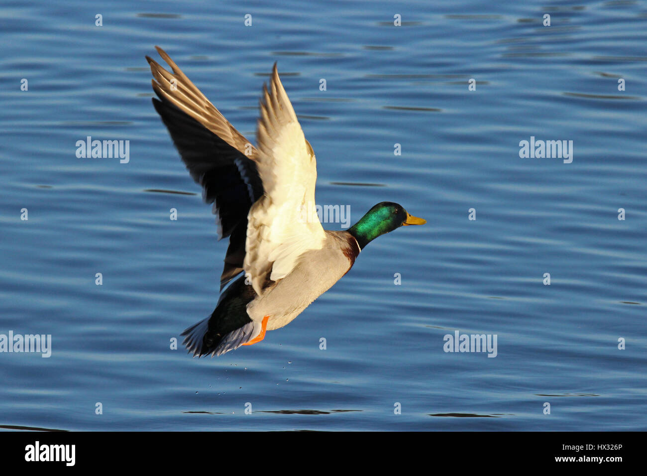 A male mallard duck flying up from a lake - Stock Image
