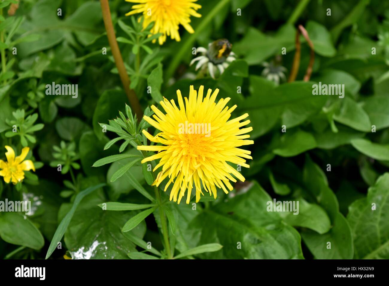 A close up of the flower of the common dandelion (Taraxacum officinale). A member of the Asteraceae (Compositae) - Stock Image