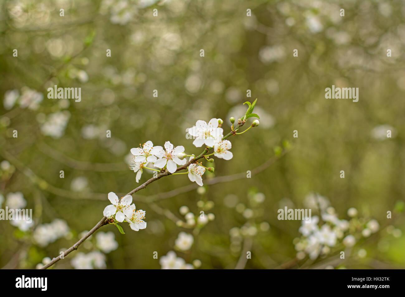 White cherry blossosms in spring on bokeh background, soft light - Stock Image