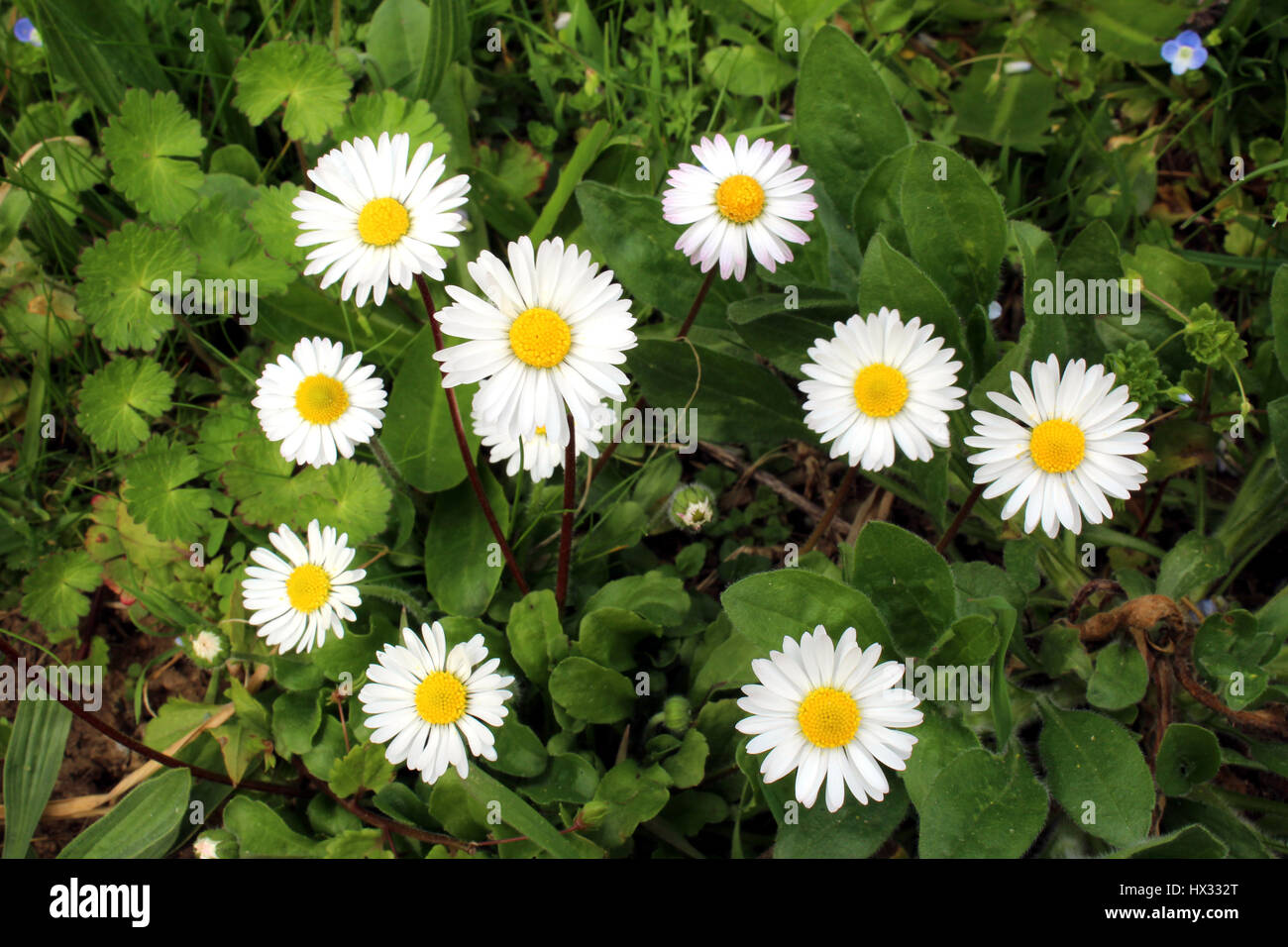 Daisies and forget me nots flowers stock photo 136521920 alamy daisies and forget me nots flowers izmirmasajfo