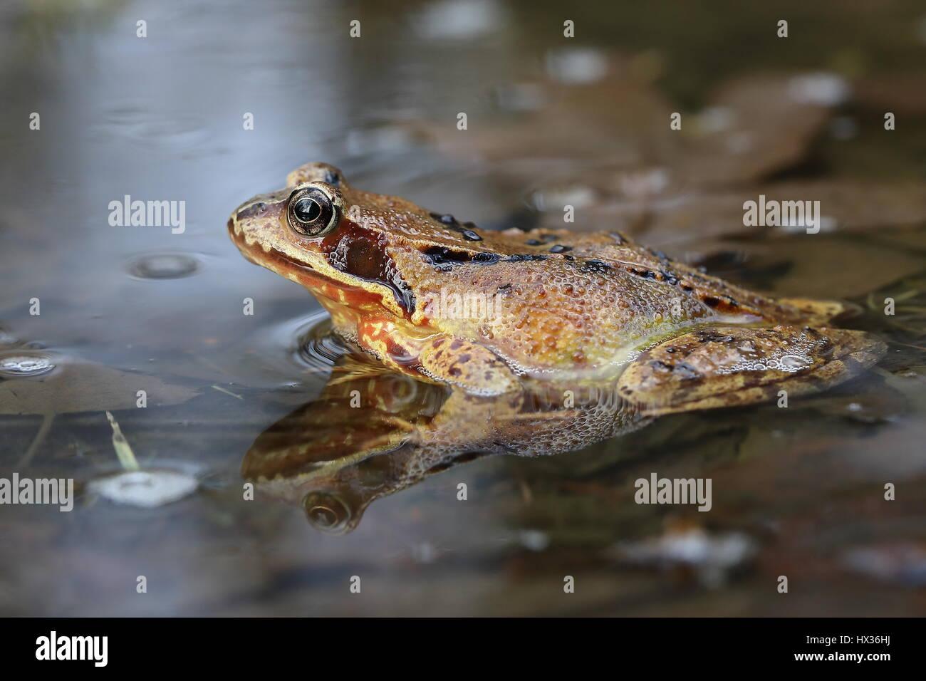 European common frog (Rana temporaria) sitting in shallow water, Malscheid Nature Reserve, Siegerland, North Rhine - Stock Image