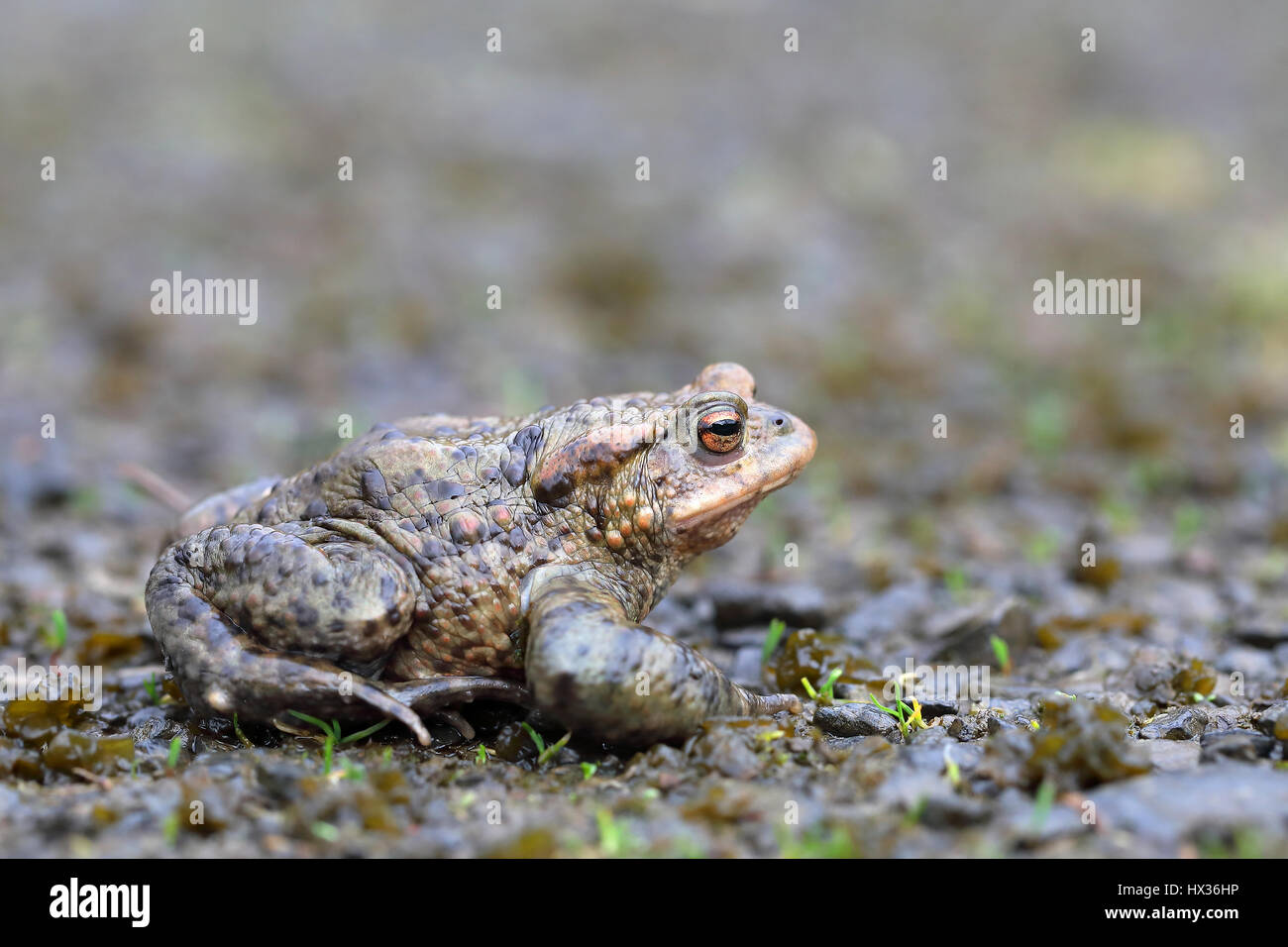 Common toad (Bufo bufo) sitting on damp ground, Malscheid Nature Reserve, Siegerland, North Rhine-Westphalia, Germany - Stock Image
