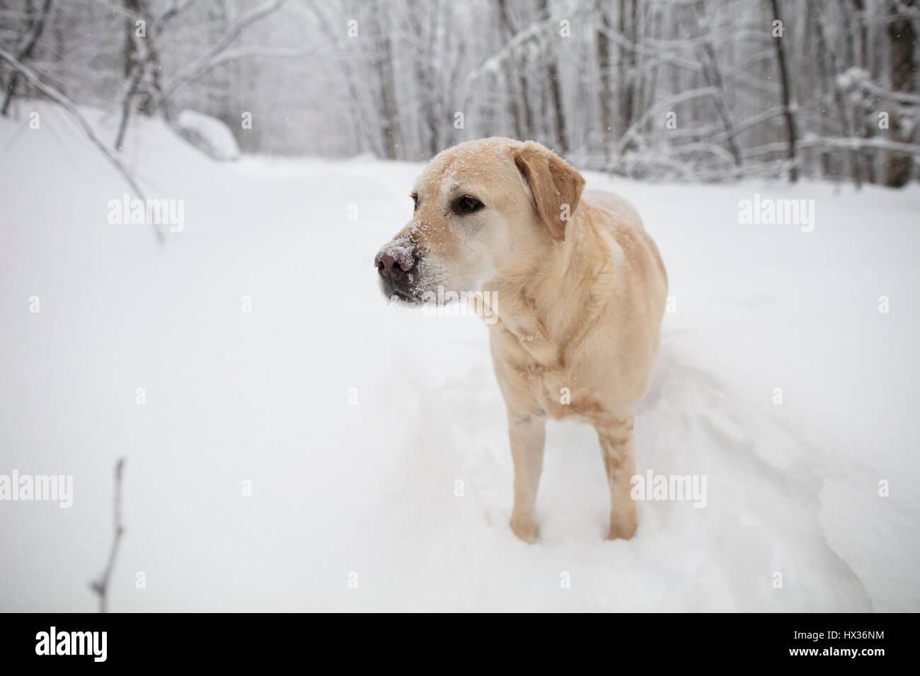 A Yellow Labrador Retriever (yellow lab) dog walks in the snow during a snow storm in Hastings Highlands, Ontario, - Stock Image