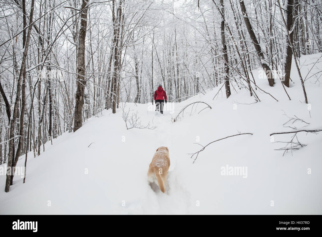 A lady snowshoes with her Yellow Labrador Retriever (yellow lab) dog during a snow storm in Hastings Highlands, - Stock Image