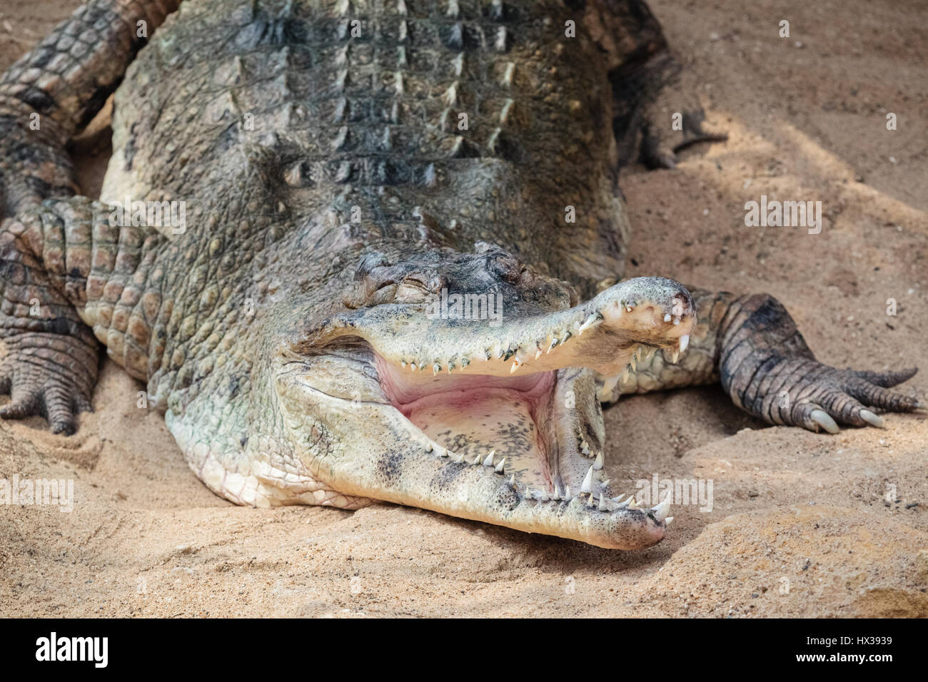 Nile Crocodile - second largest extant reptile in the world - Stock Image