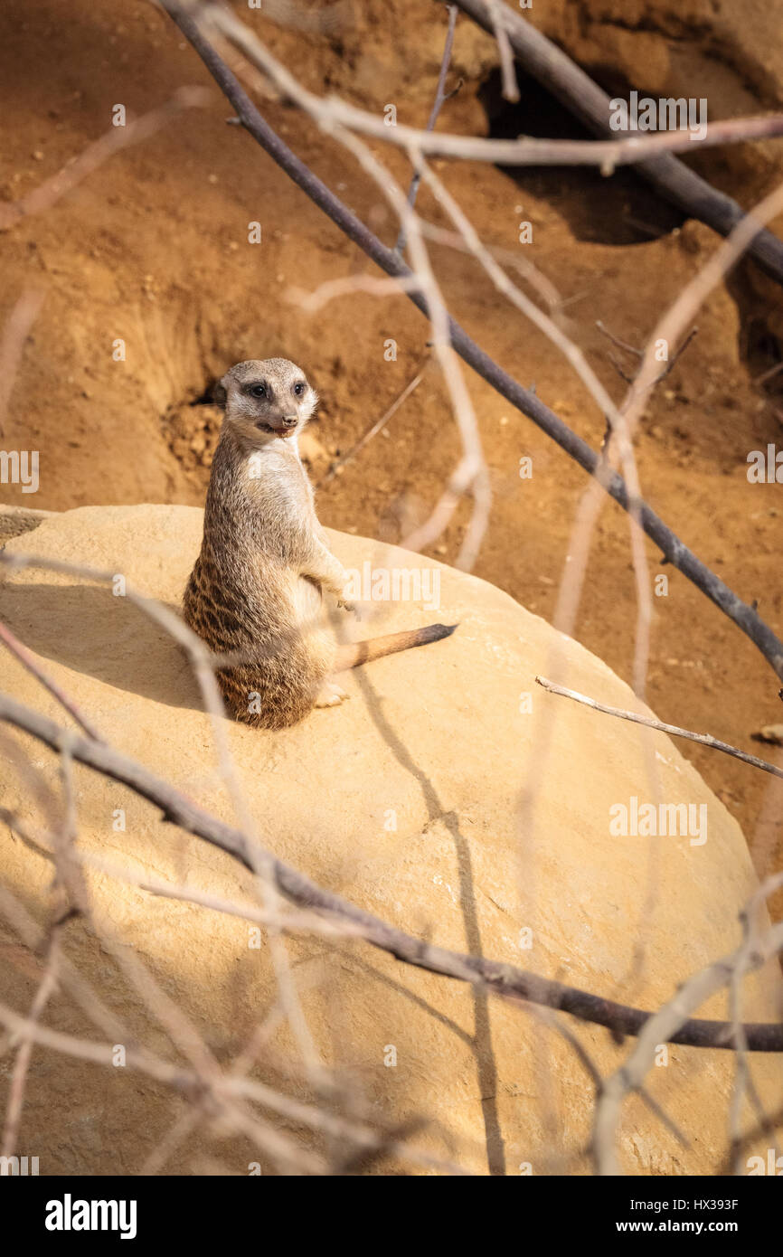 Meerkat (Suricata suricatta) Stock Photo