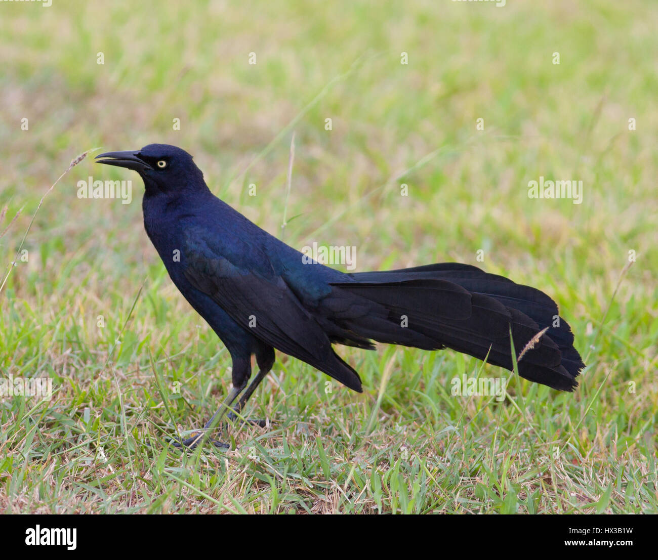 Male Great-tailed Grackle (Quiscalus mexicanus) Estero Llano Grande State Park, Weslaco, Texas - Stock Image