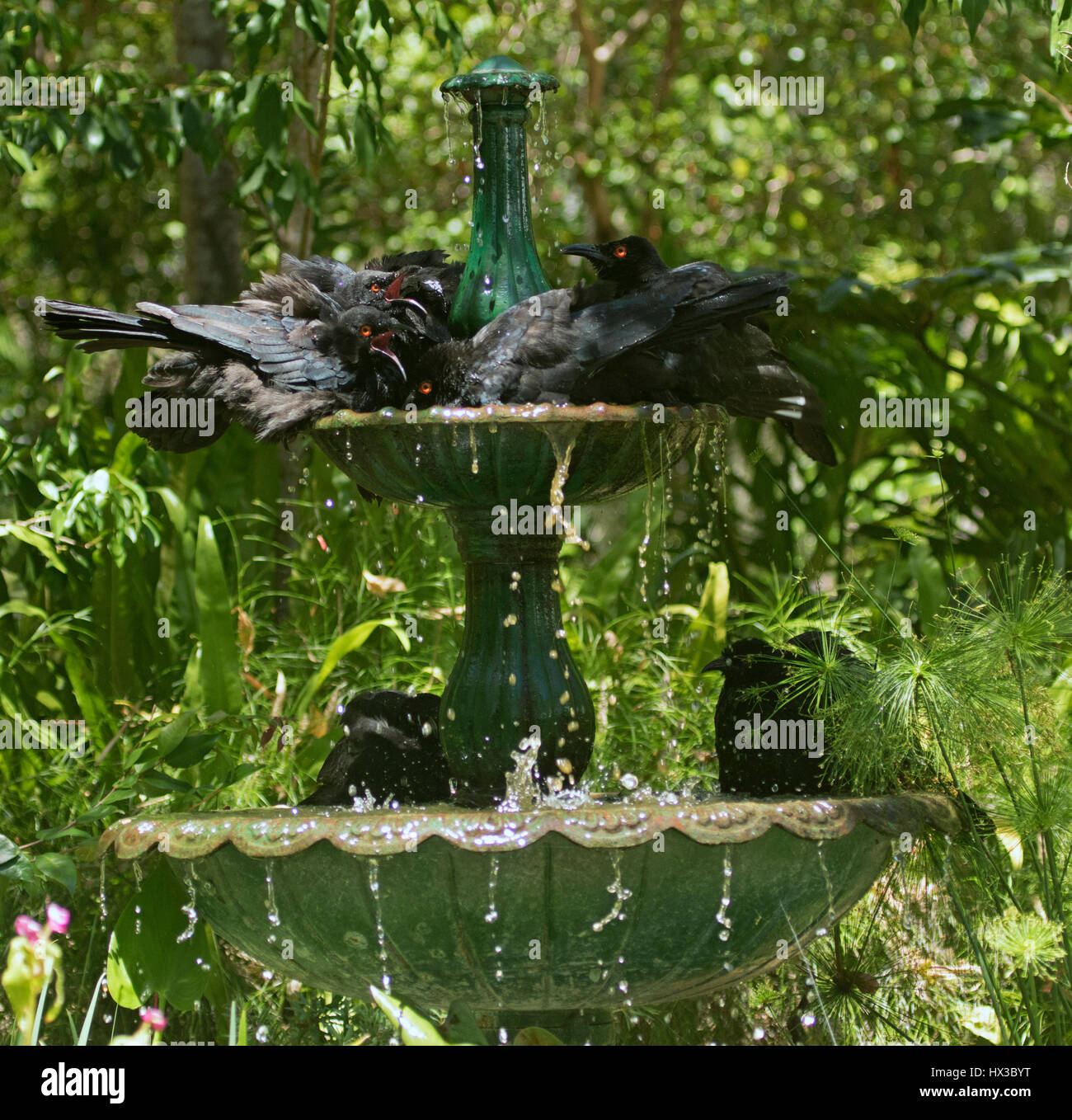 Humorous view of family of white-winged choughs Corcorax melanorhamphos cooling off in running water of garden fountain - Stock Image