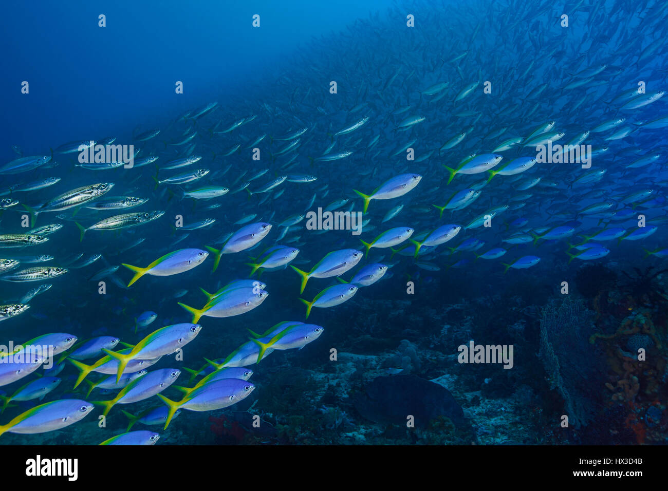 Large schools of yellowtail fusiliers (Caesio teres) and baracuda swarm over coral reef to feed during strong current. - Stock Image