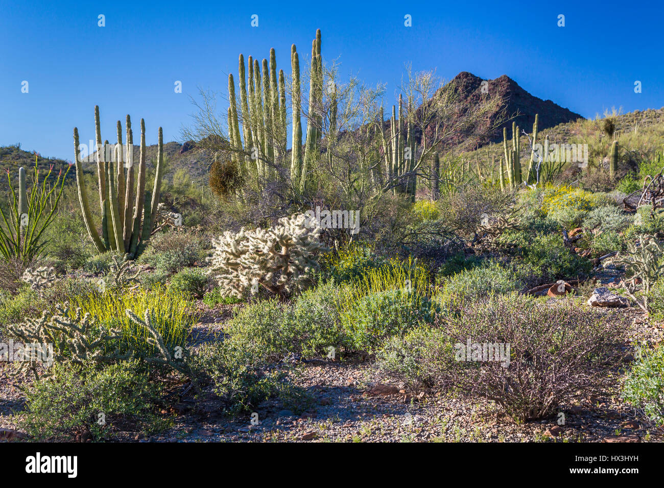 Desert vegetation of cactus in the Organ Pipe Cactus National Monument, Arizona, USA. - Stock Image