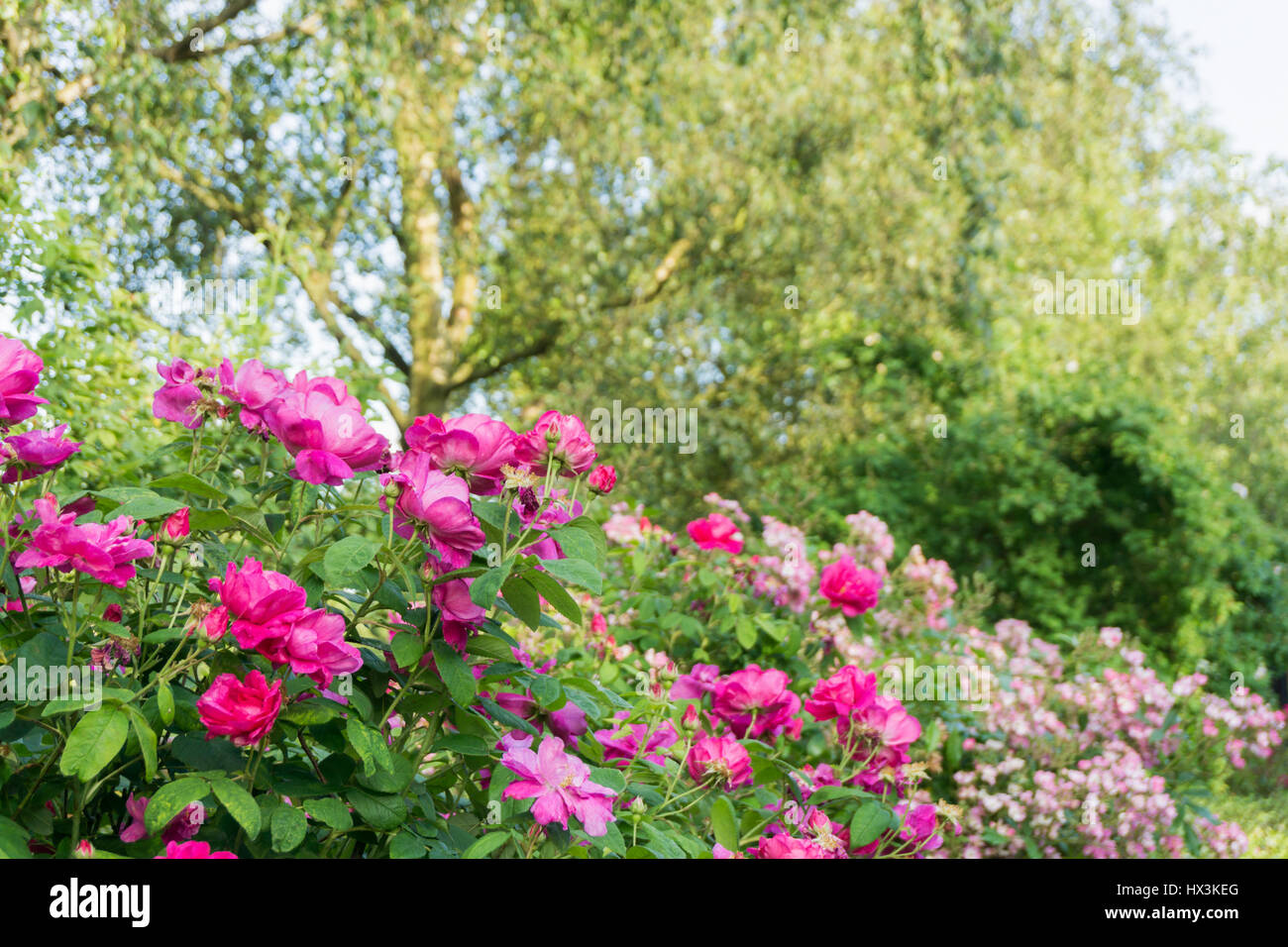 Pink Flowers On A Bush In The Countryside Stock Photo 136534792 Alamy