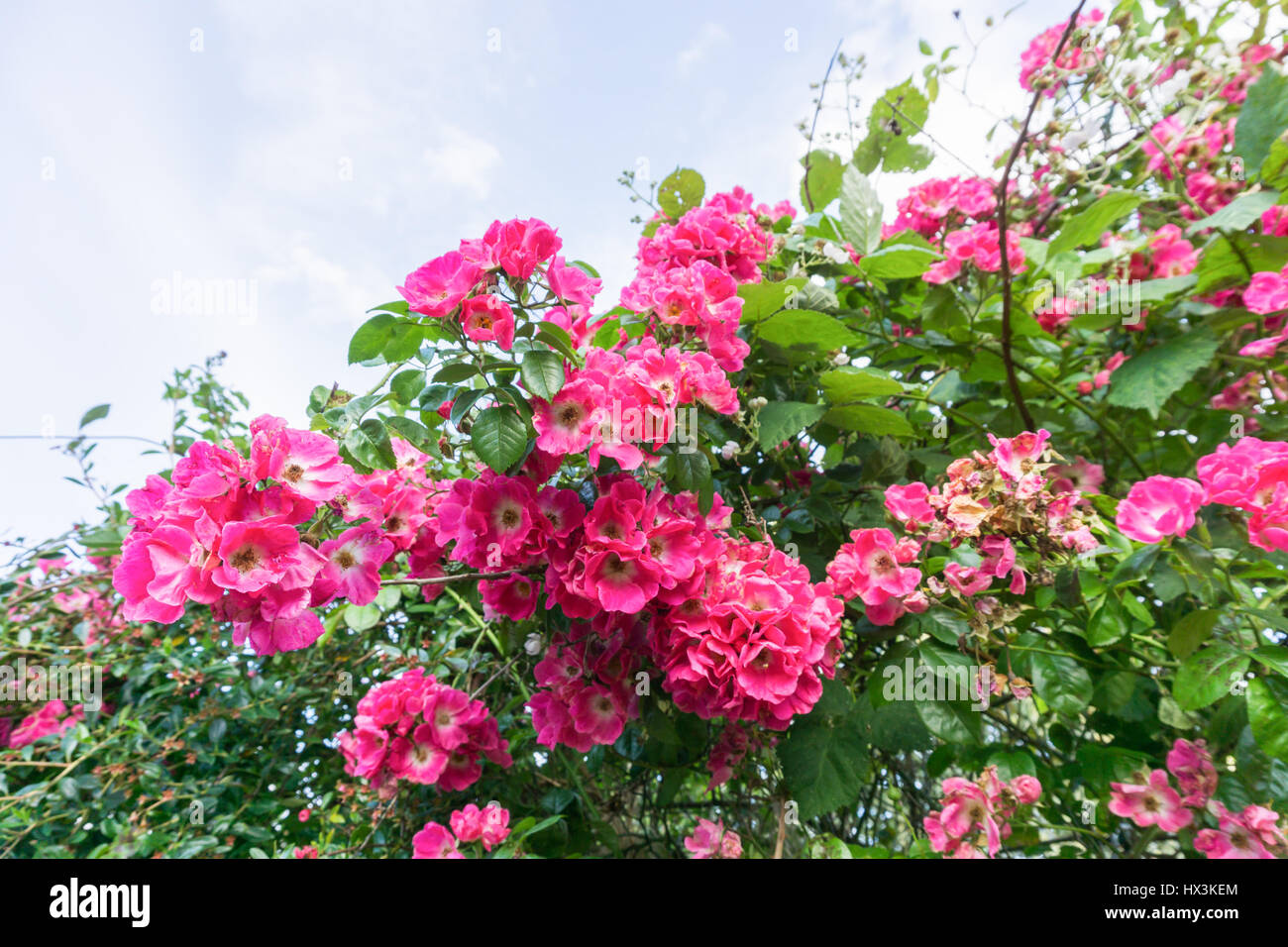Pink Flowers On A Bush Stock Photos Pink Flowers On A Bush Stock