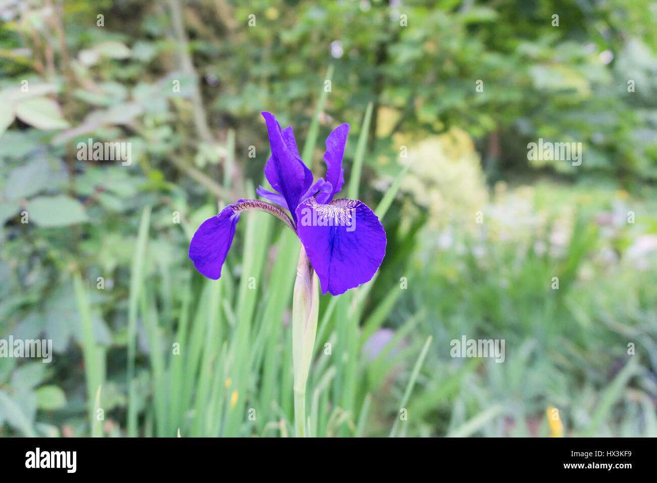 Purple lily flowers stock photo 136534813 alamy purple lily flowers izmirmasajfo Gallery