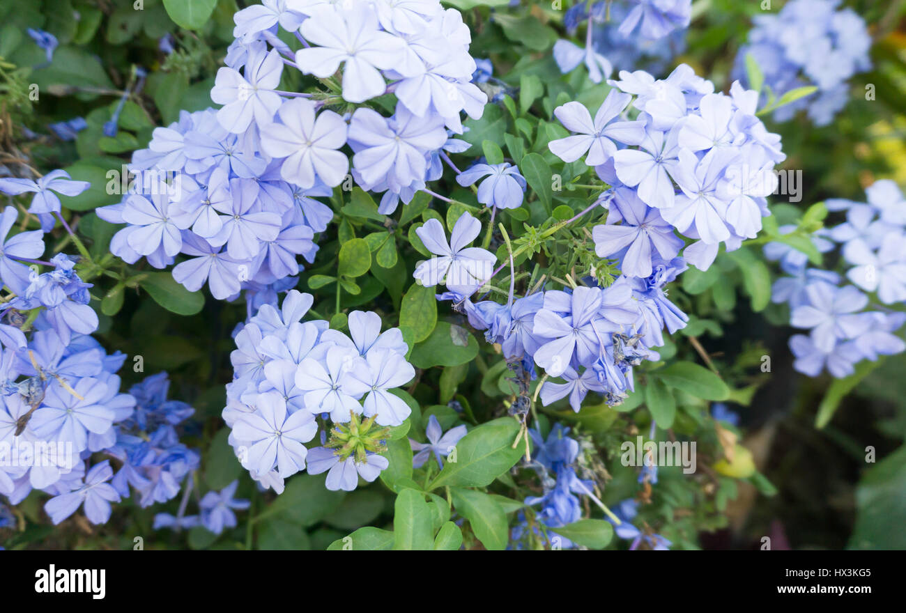 Philippines plants and flowers stock photos philippines plants and blue flowers on a bush in the philippines stock image izmirmasajfo