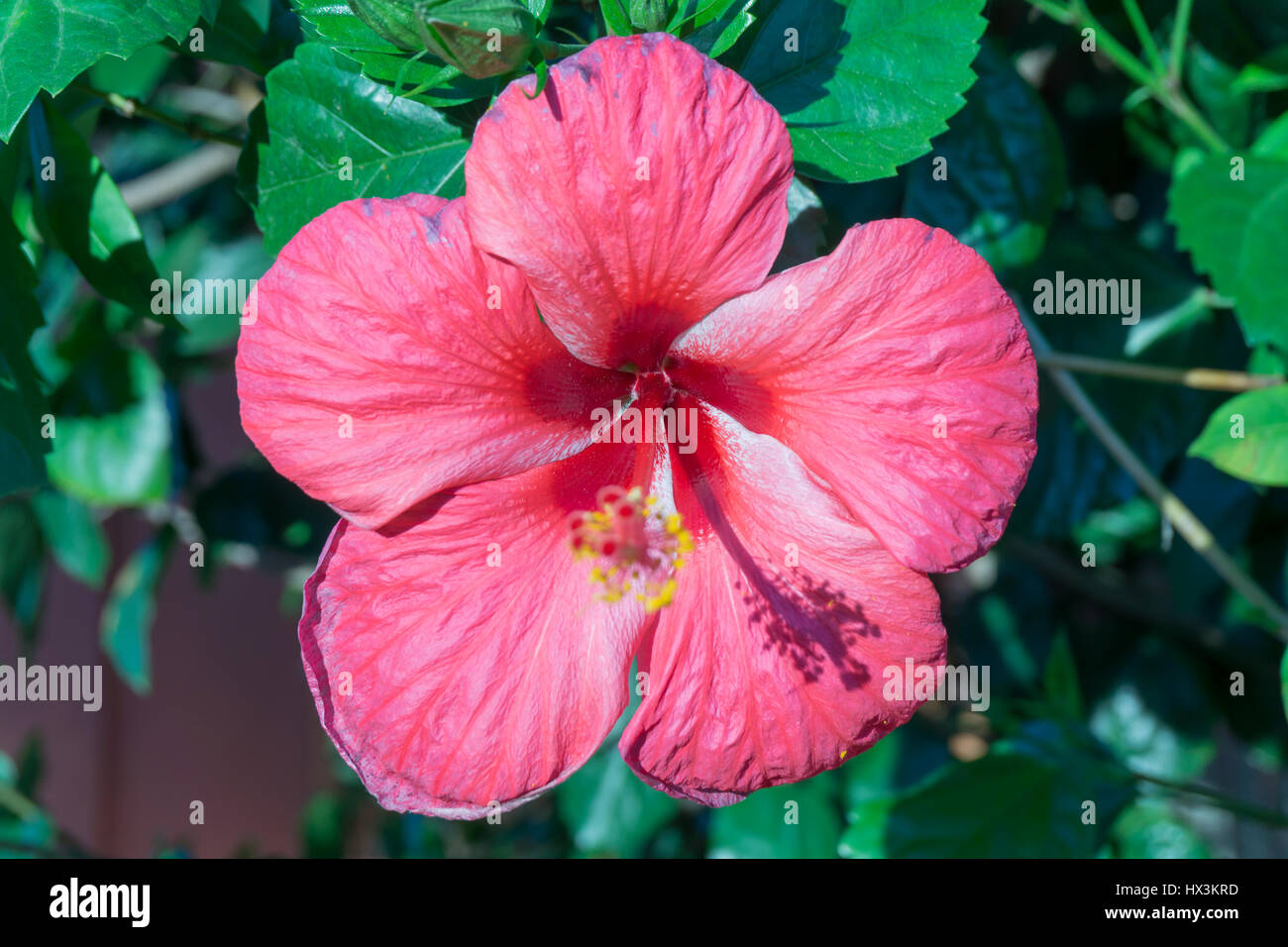 Tropical flowers in philippines pink stock photos tropical flowers tropical flowers in the philippines pink petals stock image mightylinksfo