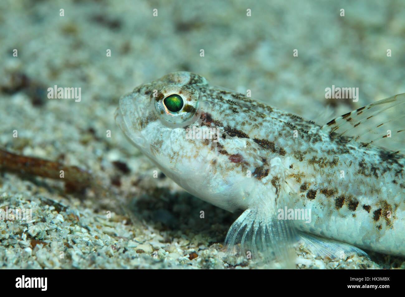 Slender goby fish (Gobius geniporus) underwater in the Mediterranean Sea - Stock Image