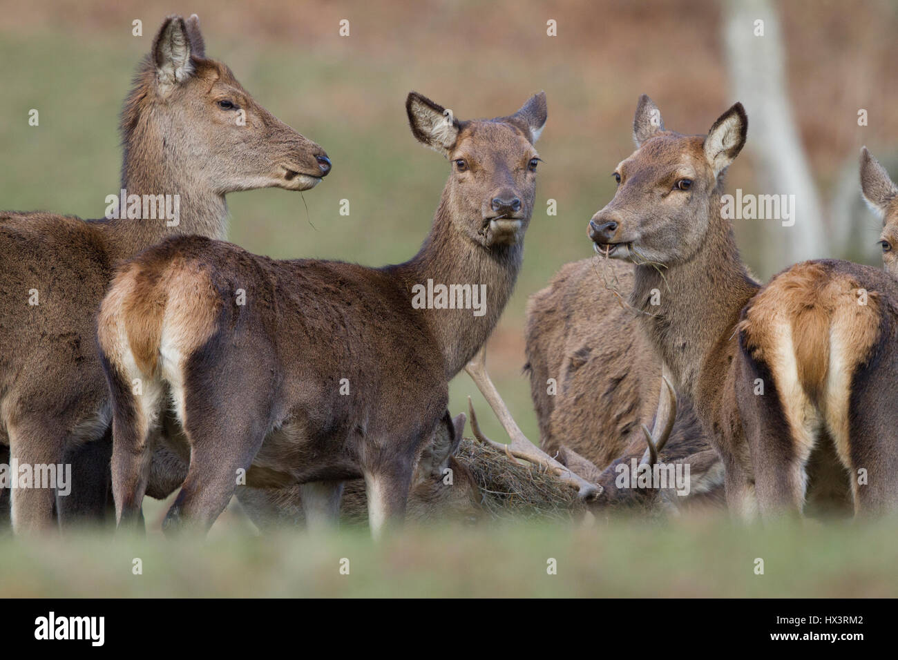 Red Deer in Powis Castle Park,National Trust property, near Welshpool,Powys,Wales, uk - Stock Image