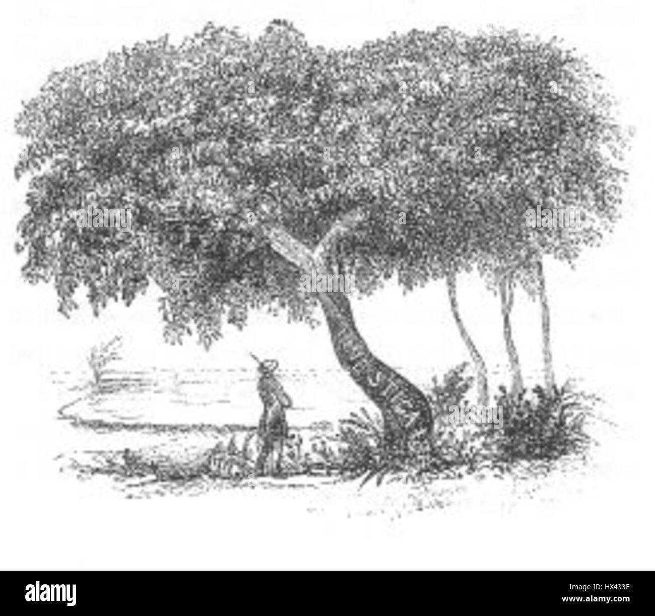 Interesting Tree (Discoveries in Australia) - Stock Image