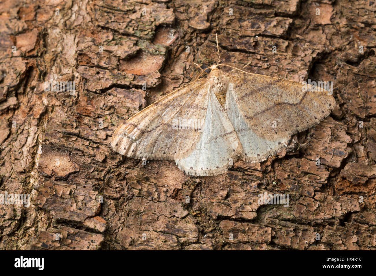 Graugelber Breitflügelspanner, Breitflügel-Spanner, Männchen, Agriopis marginaria, dotted border, - Stock Image
