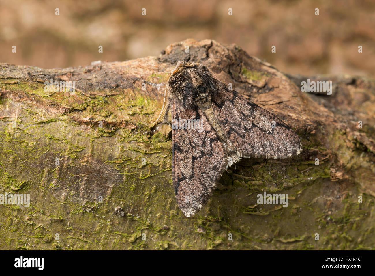 Pappel-Dickleibspanner, Pappeldickleibspanner, Pappelspanner, Biston strataria, oak beauty, Oak beauty moth, la - Stock Image