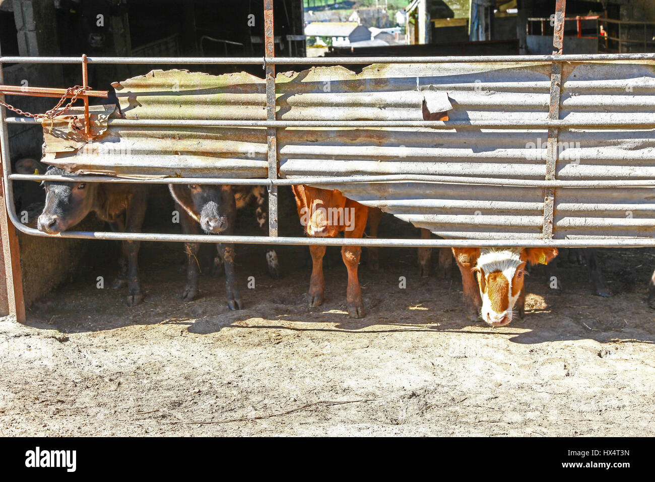Young inquisitive cows looking under galvanised metal sheeting on a farm - Stock Image