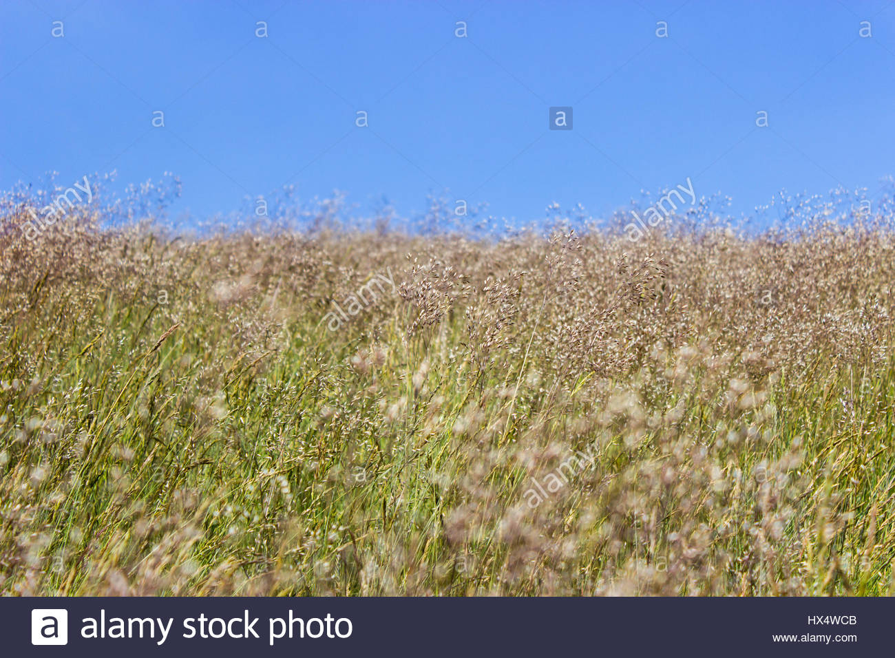 Long grass growing wild in a meadow stock image - Stock Image
