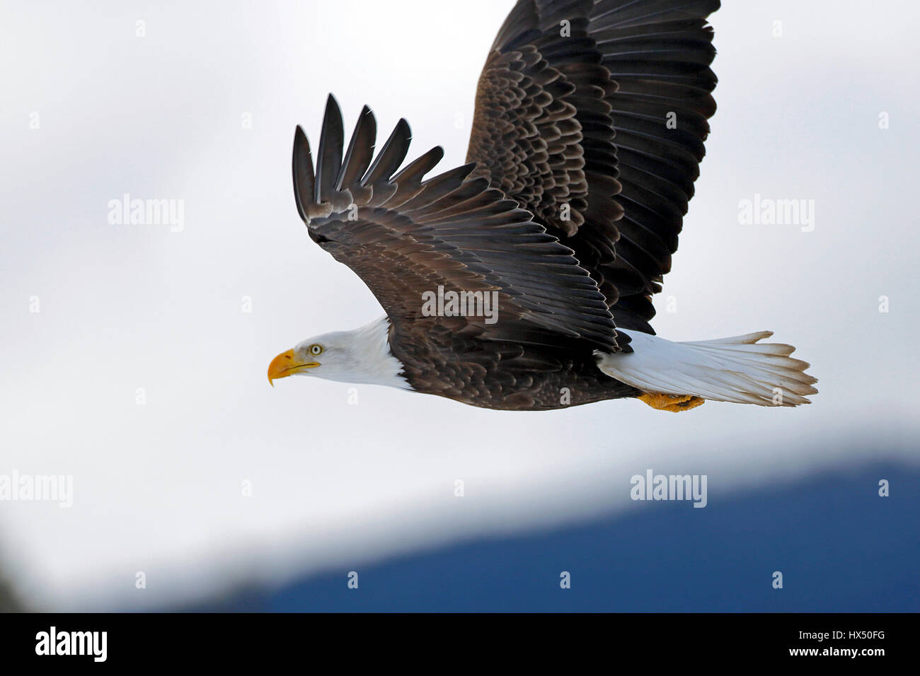 American Bald Eagle in flight, in cloudy winter sky, Stock Photo