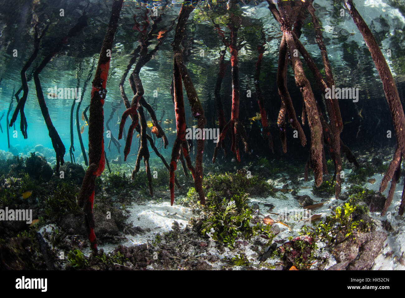 Prop roots descend underwater in a mangrove forest in Raja Ampat, Indonesia. Mangroves serve as vital nurseries - Stock Image