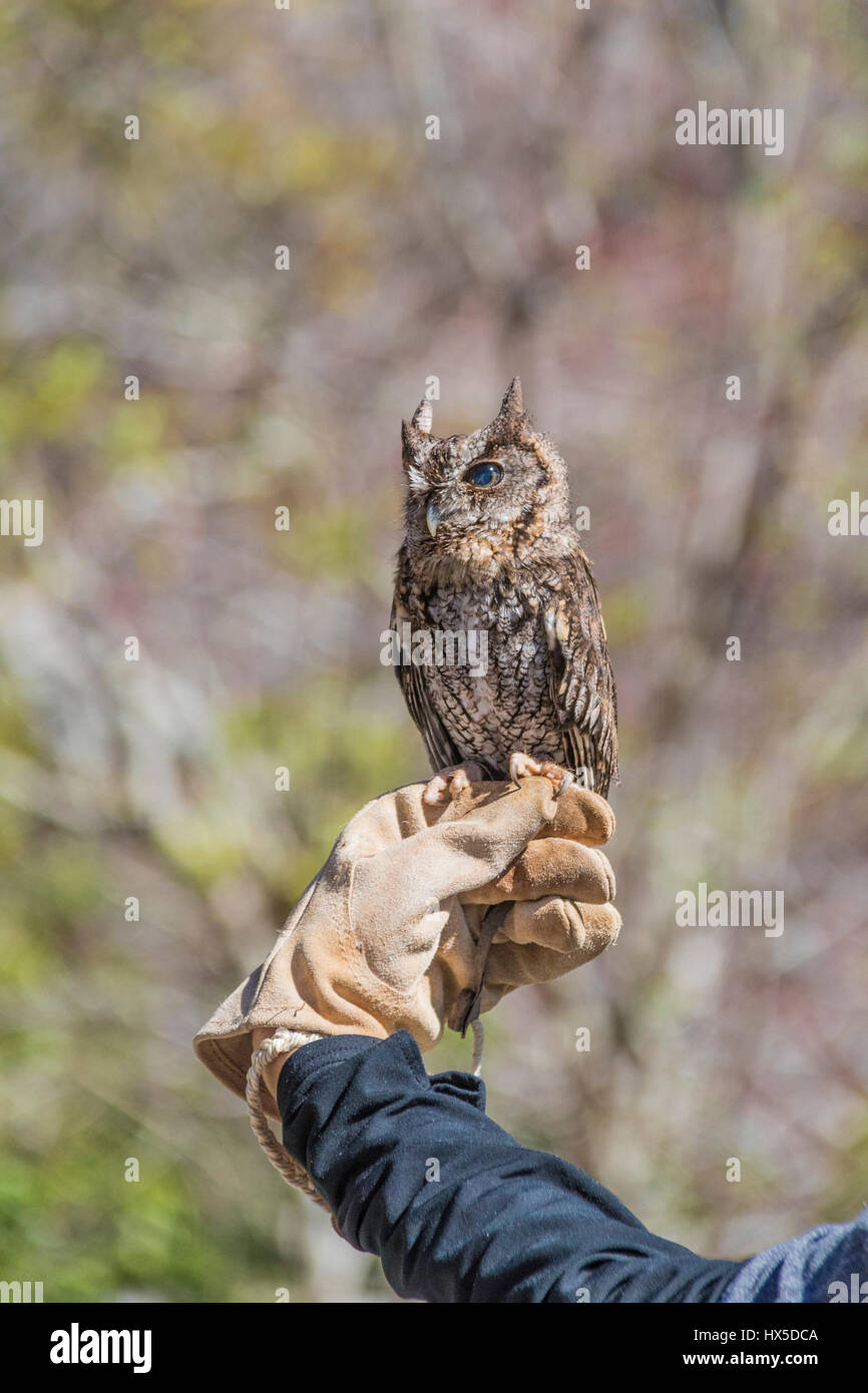 Eastern Screech-Owl in Callaway Garden's Birds of Prey rehabilitation and education program. - Stock Image
