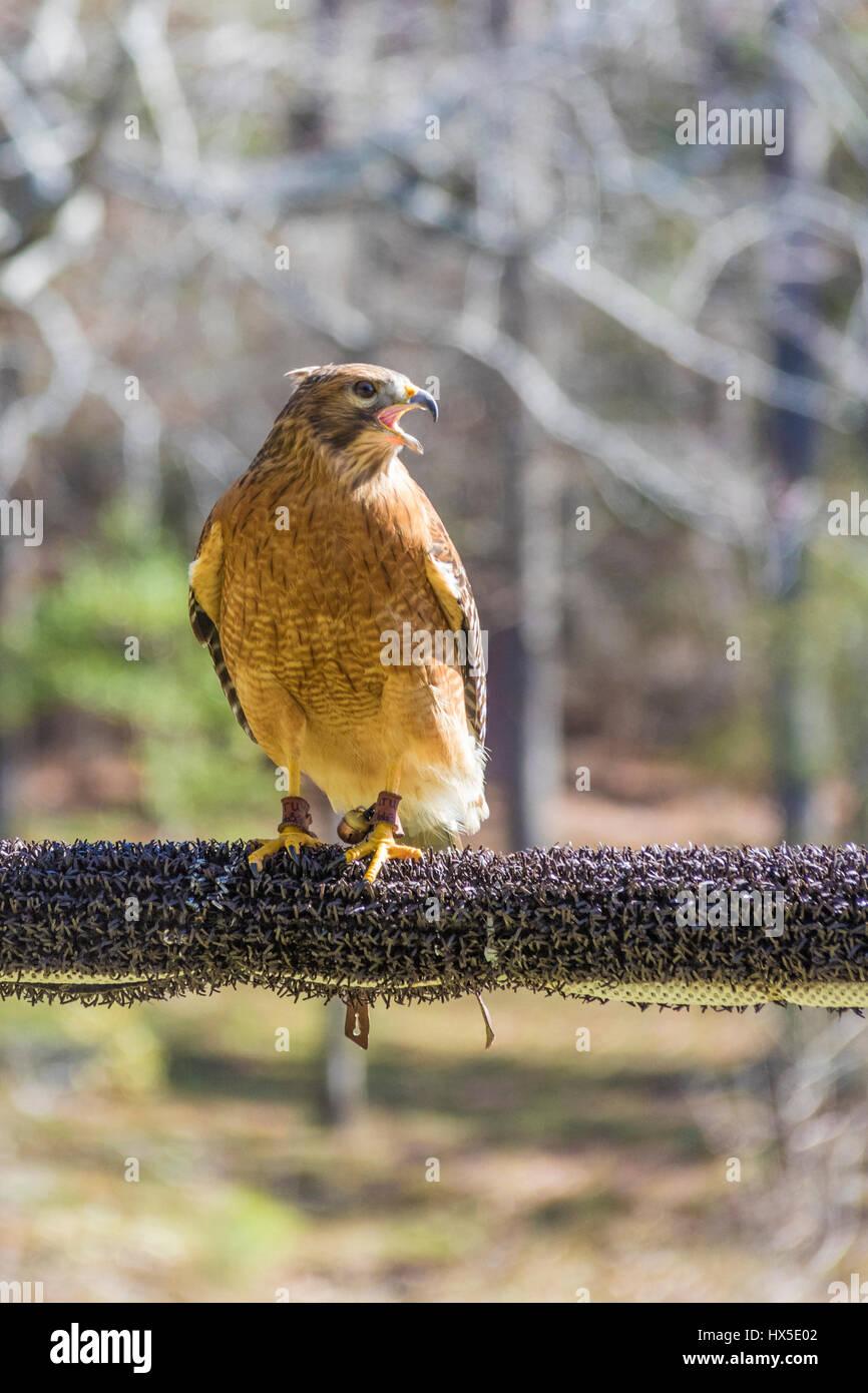 Red-shouldered Hawk in Callaway Garden's Birds of Prey rehabilitation and education program. - Stock Image