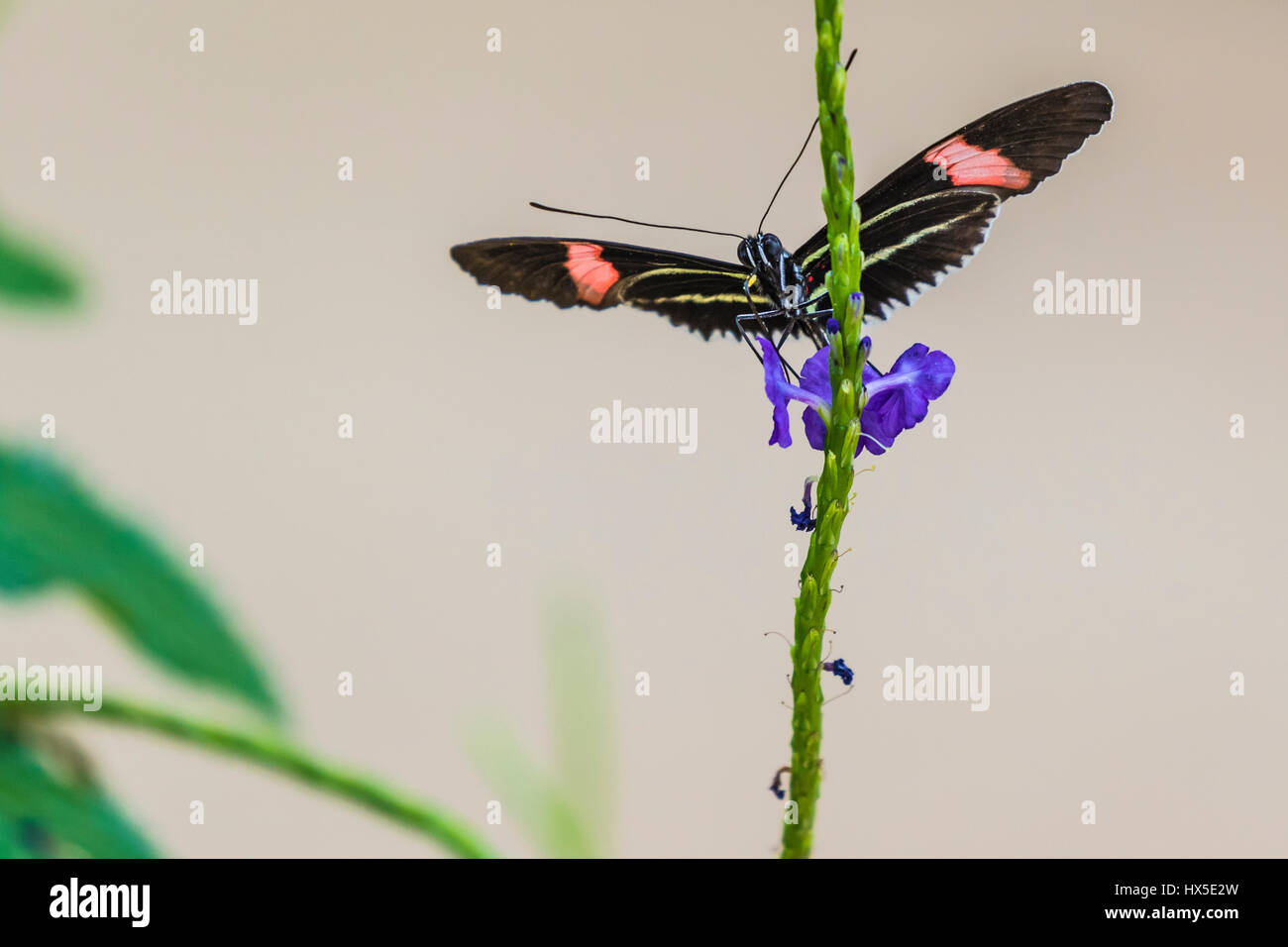 The Postman Longwing Butterfly on Porterweed flower in Cecil B Day Butterfly Center at Callaway Gardens. - Stock Image