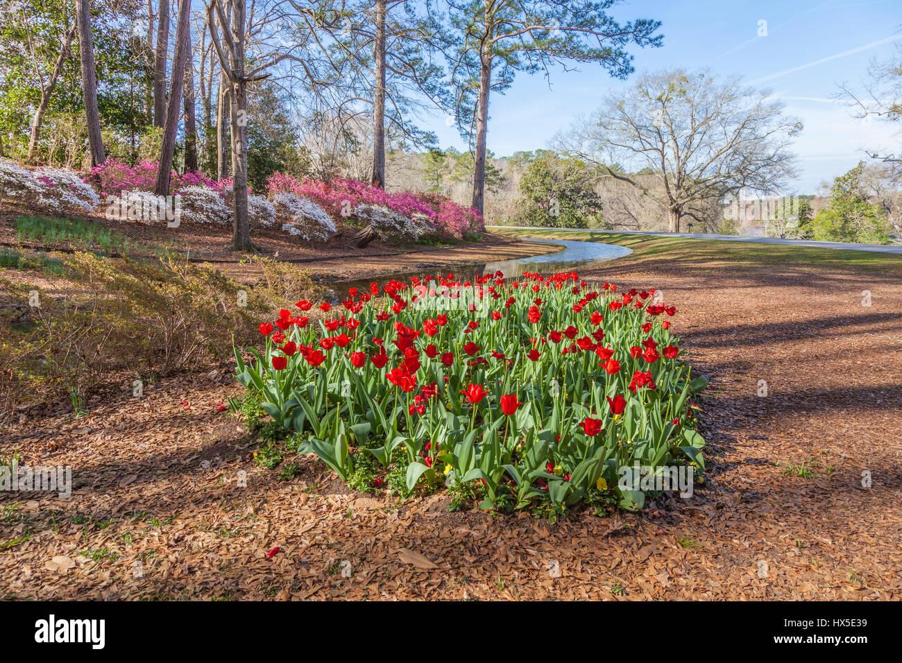 Tulips In Front Of Azalea Overlook Garden At Callaway Gardens In Georgia.