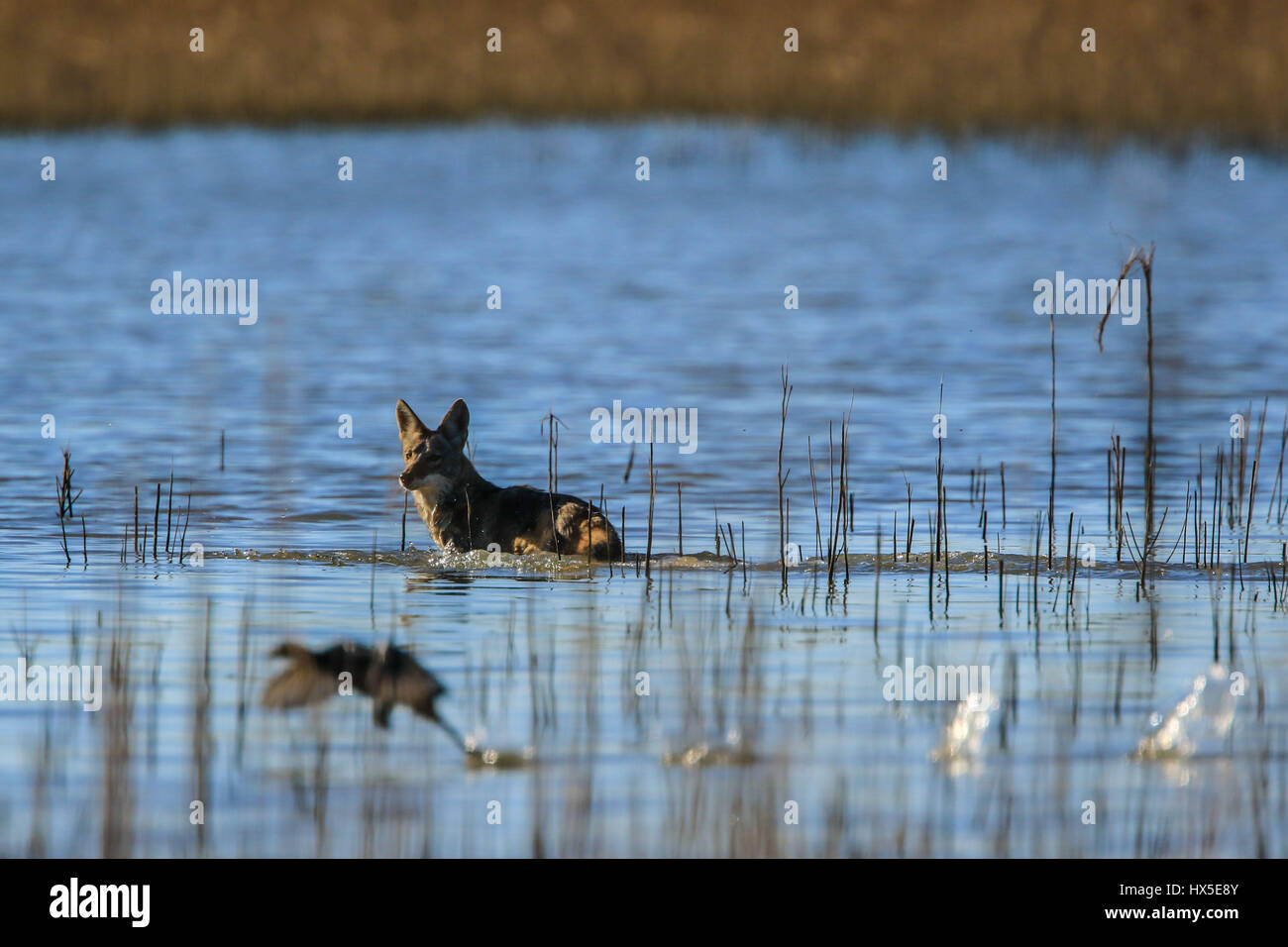 A hungriest of Coyote runs in an attempt to catch a duck to feed, she was seen around the dam Abelardo L. Rodriguez - Stock Image