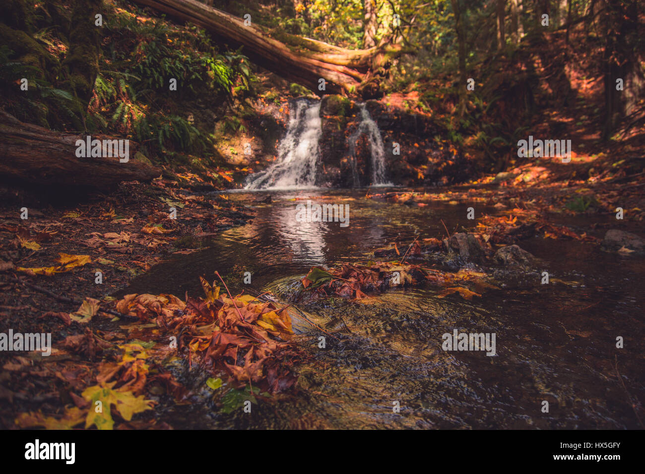 Autumn in the Pacific Northwest of the United States. Colorful Fall leaves are pulled down a gentle stream with Stock Photo