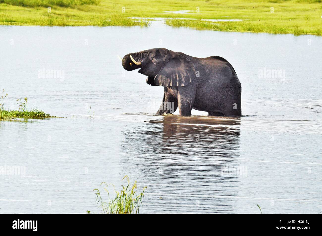 Elephant in Watering hole - Stock Image