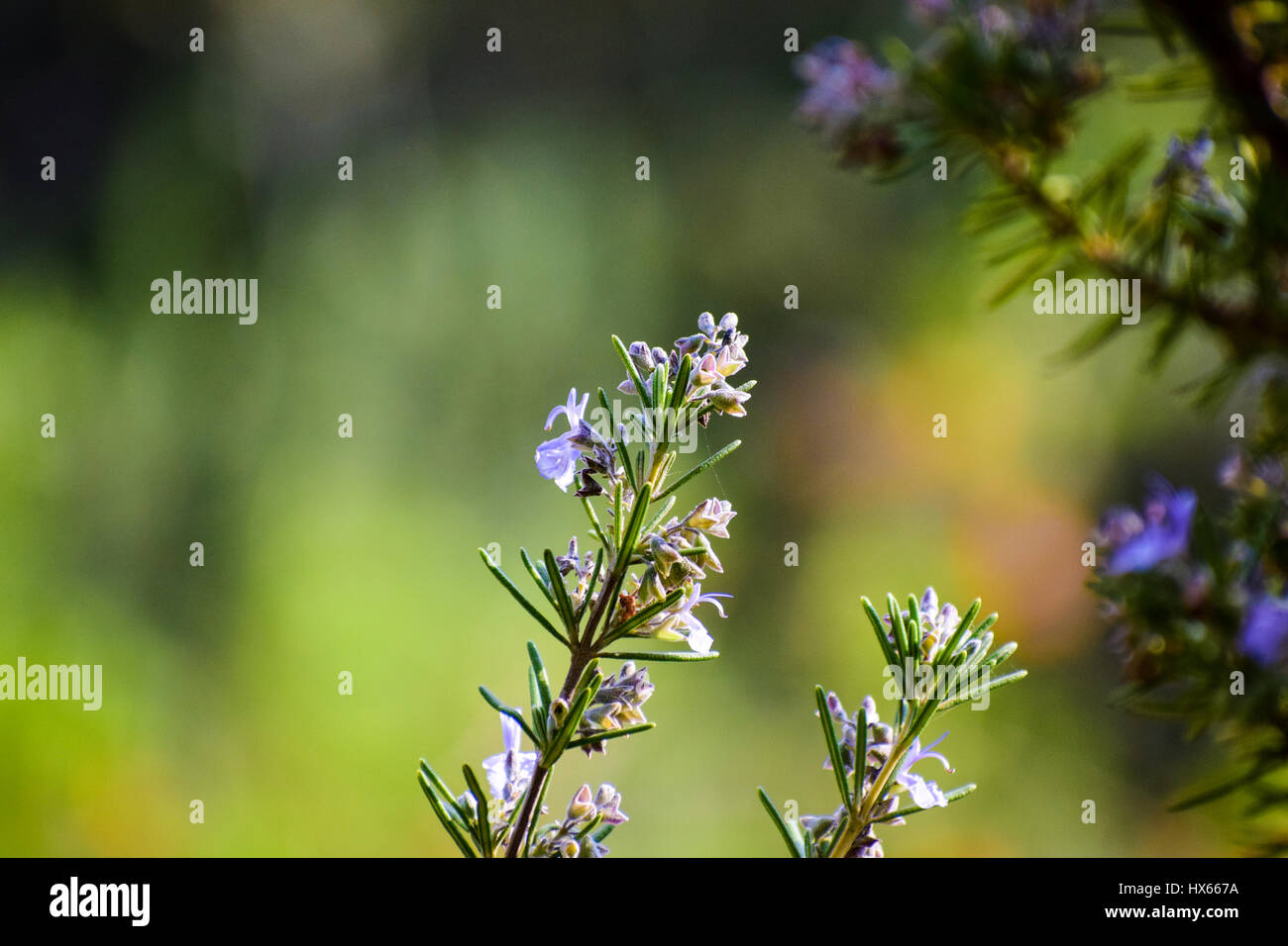 Violet flower in lushy green background - Stock Image