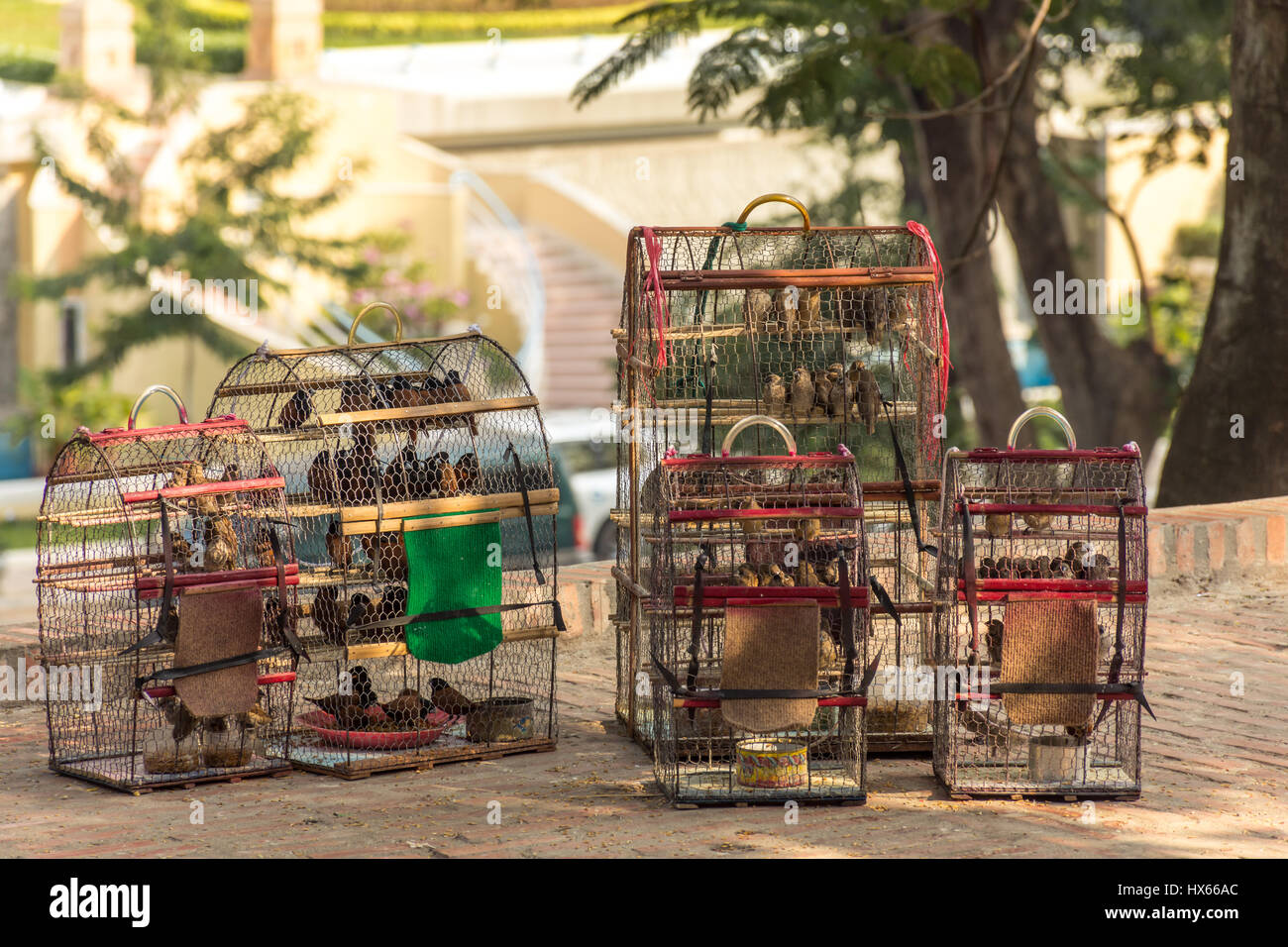 5 bird cages full of small birds for sale in the shade near a temple in Cambodia. - Stock Image