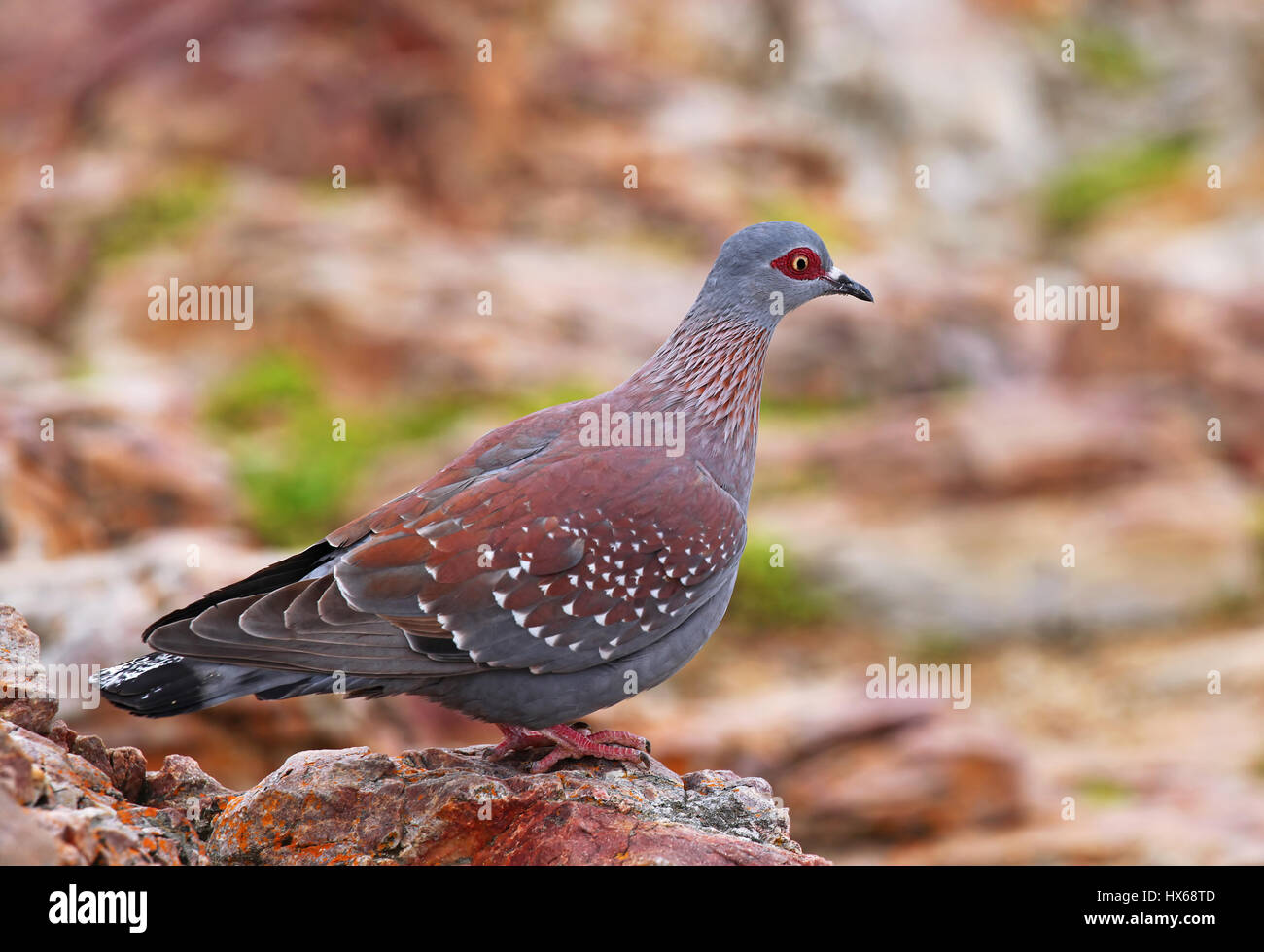 African rock pigeon, speckled pigeon, South Africa - Stock Image