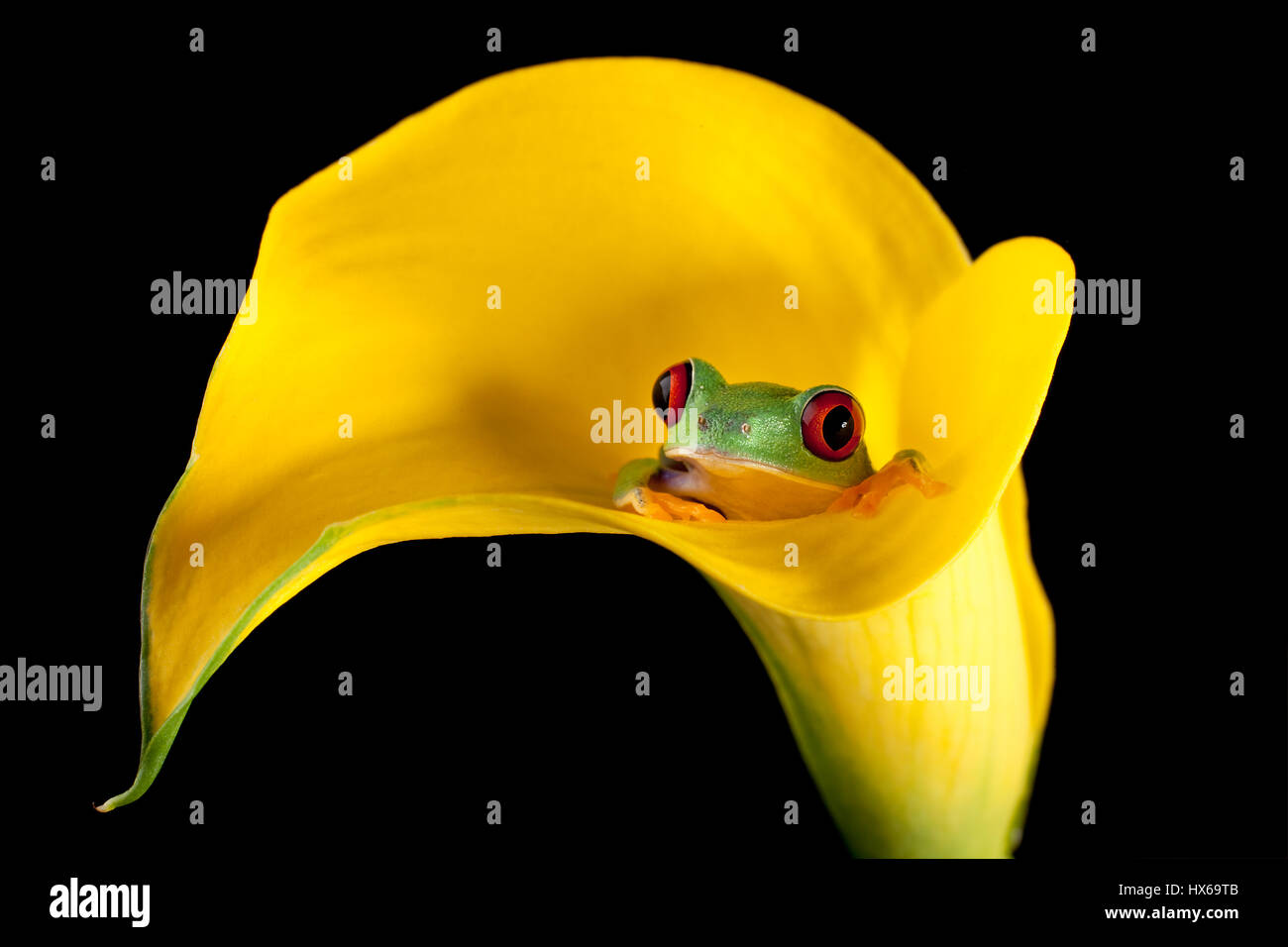 One inch red-eyed tree frog in an arum lily Stock Photo