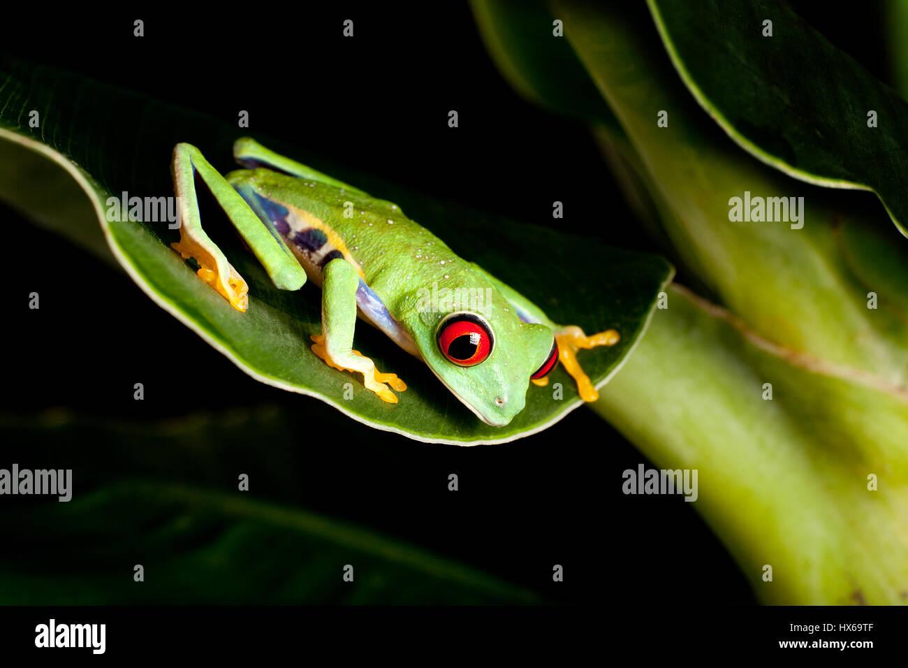 Red eyed tree frog on banana leaf - Stock Image