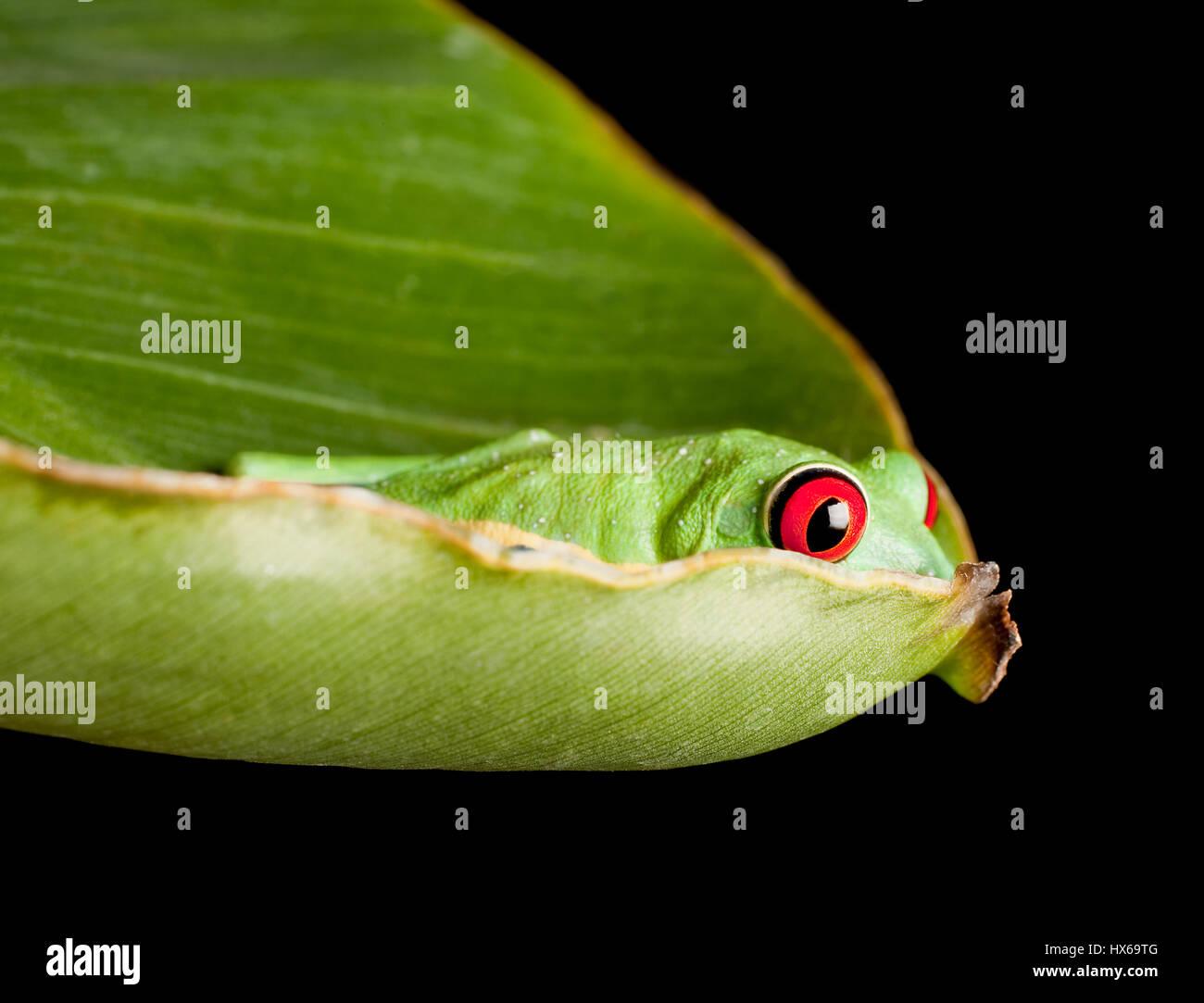 Red eyed tree frog on banana leaf Stock Photo