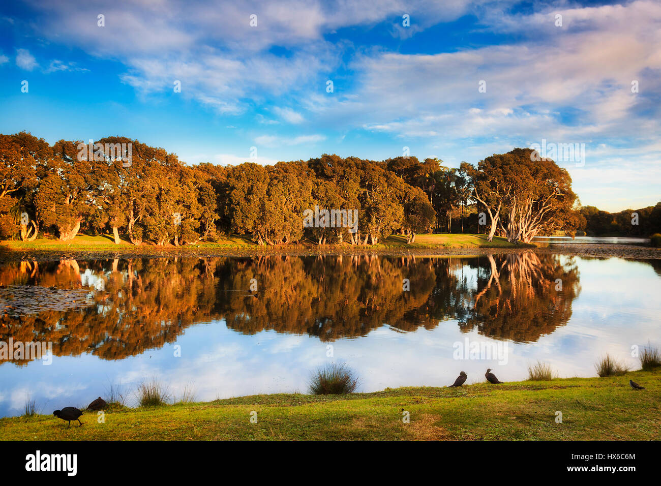 Gumtrees reflecting in still waters of pond with water lilies in Sydney centennial park at sunrise, lit by warm - Stock Image