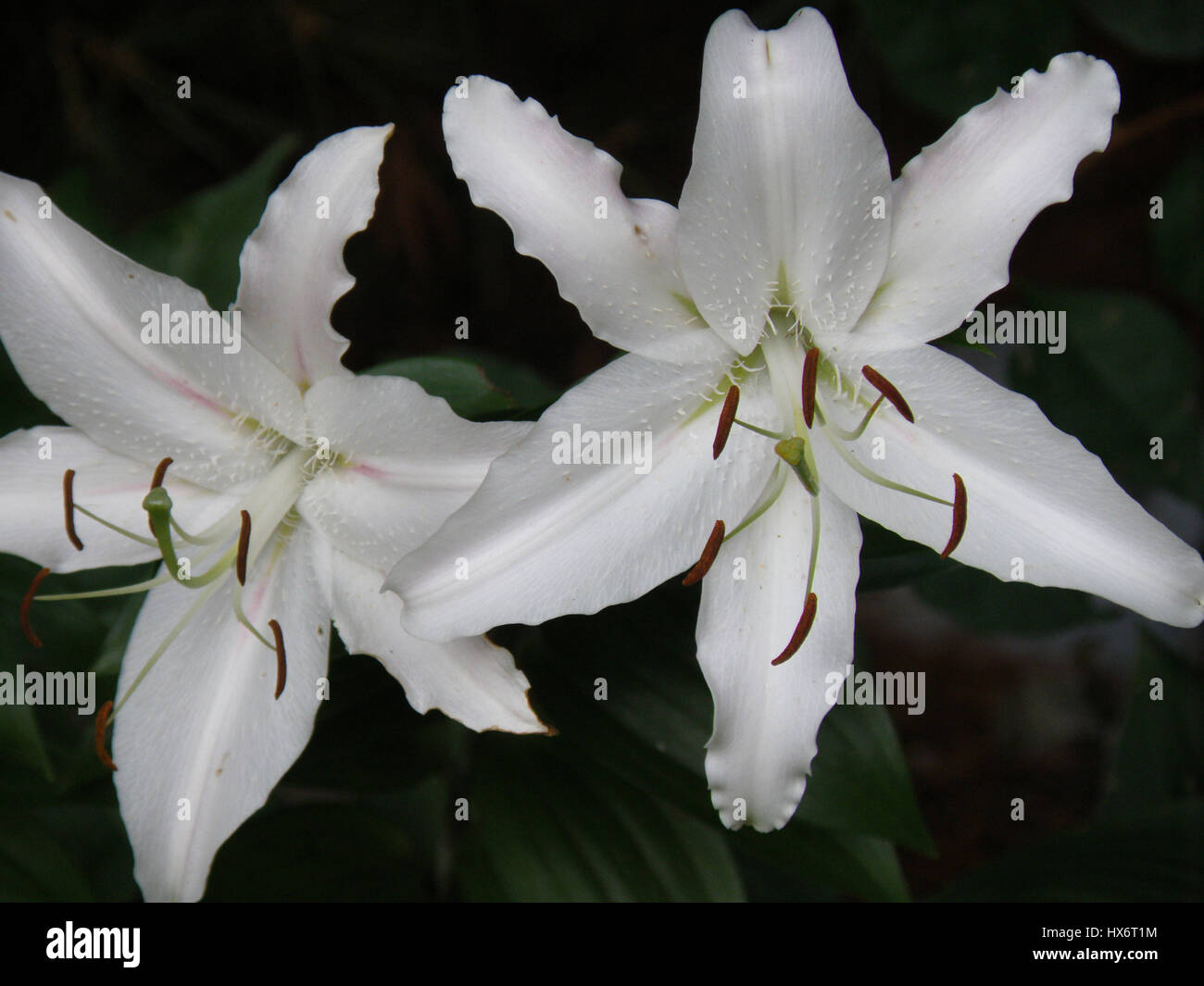 Stargazer lilies stock photos stargazer lilies stock images alamy flowering pair of white stargazer lilies in a garden stock image mightylinksfo