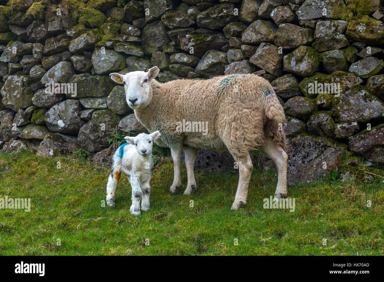 Herdwick Ewe and new born lamb - Stock Image